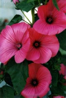 Lavatera trimestris 'Ruby Regis' Eg. (2)