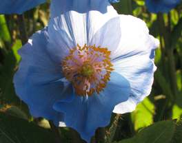 Meconopsis bailey 'Lingholm' 2