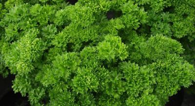 Kruspersille Petroselinum crispum