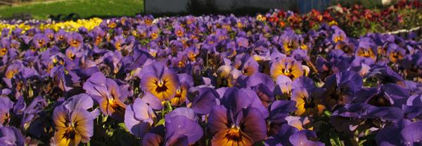 Økologisk dyrket stemor Viola x wittrockiana