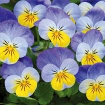 Viola sorbet yellow frost venstre
