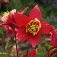 Aquilegia caerulea 'Origami Red and White' Eg 2016
