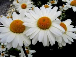 Chrysanthemum maximum 4