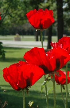 Papaver orientale 'Beauty of Livermere' 60-80cm høy