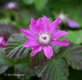 Rubus arcticus ssp. x stellarcticus 1 Eg 2016