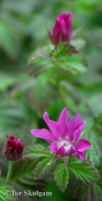 Rubus arcticus ssp. x stellarcticus 2 Eg 2016 copy