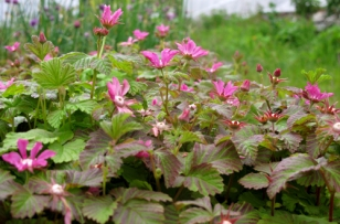 Rubus arcticus ssp x stellarcticus
