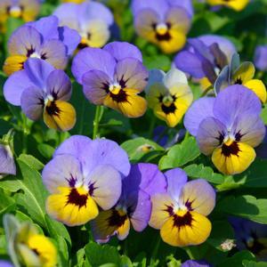 Viola Penny Marlies