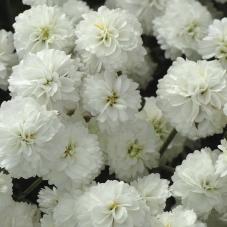 Achillea ptarmica 'Noblessa' 3