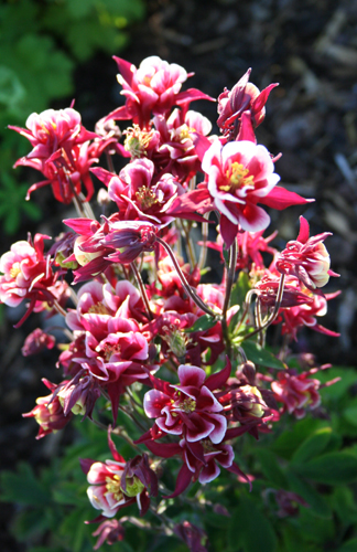 Aquilegia vulgaris Winky double red and white egen Tor (2)