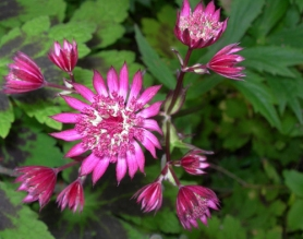 Astrantia major Ruby Cloud (2)