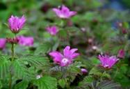 Rubus arcticus ssp. x stellarcticus 3 Eg 2016