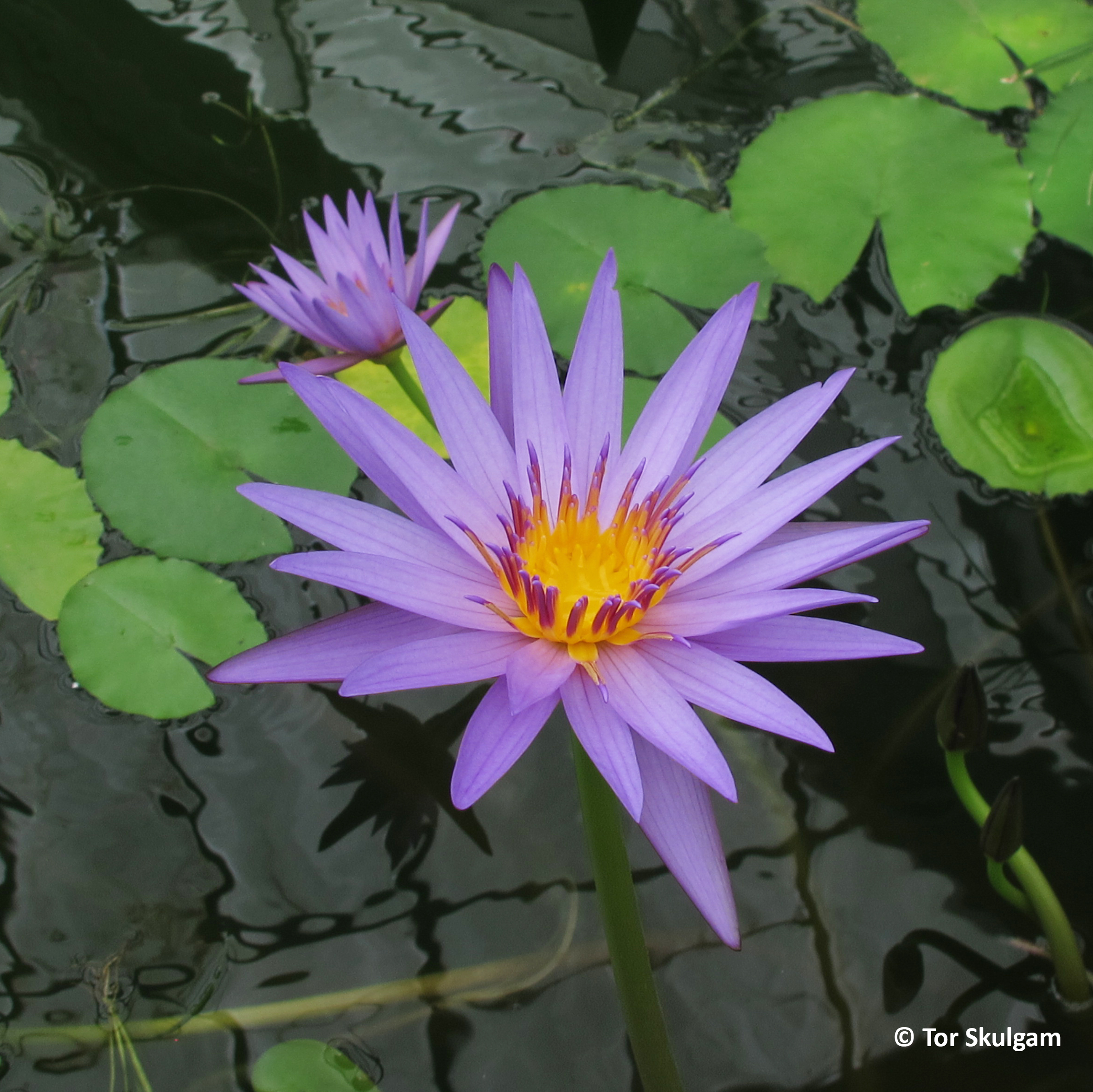 Nymphaea 'August Siebert' Eg NZ2017 IMG_3855